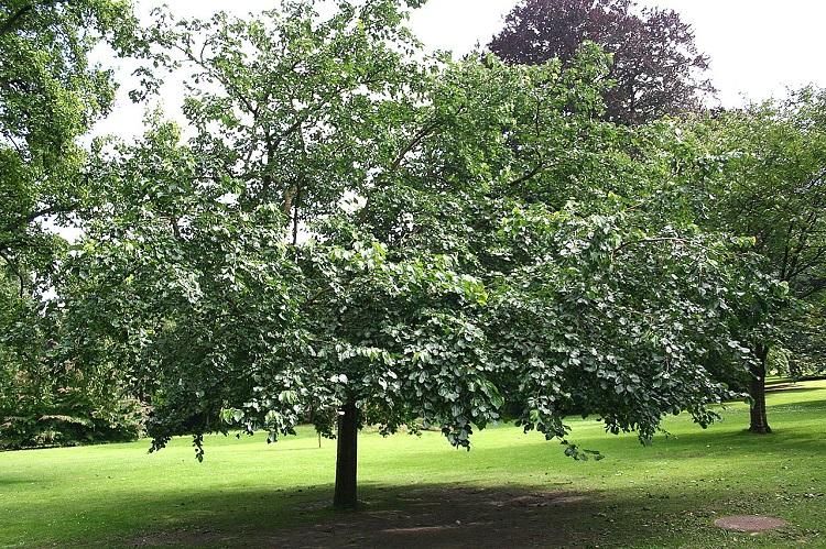 Дерево шелковицы белой